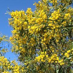 Acacia: Descripción, distribución, hábitat y mucho más