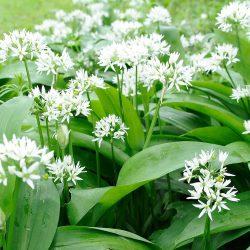 Ajo de Oso: Una flor hermosa para sus comidas
