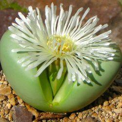 Argyroderma: Origen, tipos, hábitat, cultivo y más