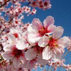Flor del Almendro: ¿Cómo se diferencia del cerezo?