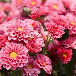 Crisantemo: Cuidados, problemas y mucho más