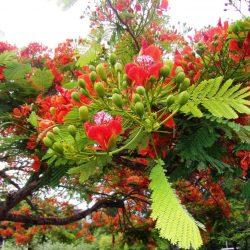 Árbol Chivato: Descripción, propiedades, usos y más