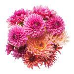 Cuidados del Crisantemo: Los mejores consejos