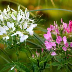 Flor Araña: Una especie exótica para tu jardín