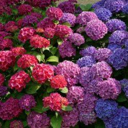 Significado de la Hortensia según su color